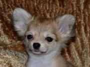 дш щенки чихуахуа с родословной