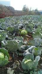 Продам капусту деревенскую из собственного огорода